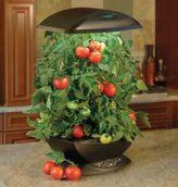 tomate hydroponie